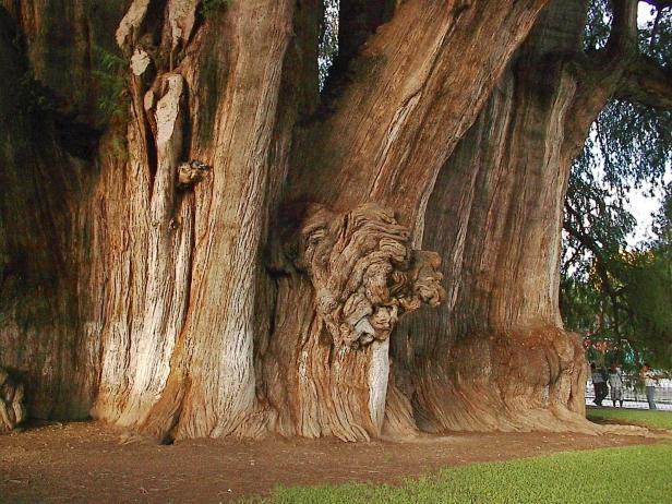 oaxaca02-oldest-tree-trunk